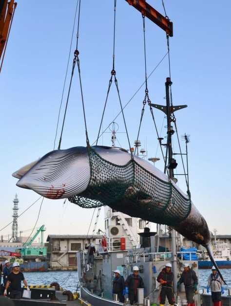 調査捕鯨で北海道・釧路港に水揚げされたミンククジラ=2017年9月