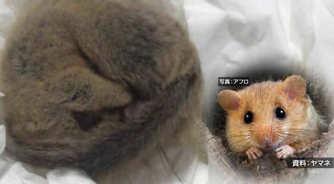 押し入れの毛布に「二ホンヤマネ」 国の天然記念物 大分 日田 | NHKニュース