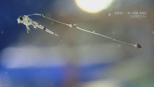巨大深海魚リュウグウノツカイ 人工ふ化に世界初成功 沖縄   NHKニュース