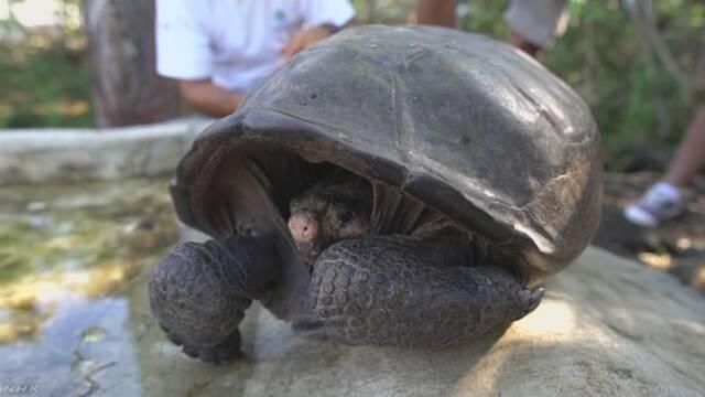 絶滅したはずのゾウガメ ガラパゴスで1世紀ぶり発見 | NHKニュース