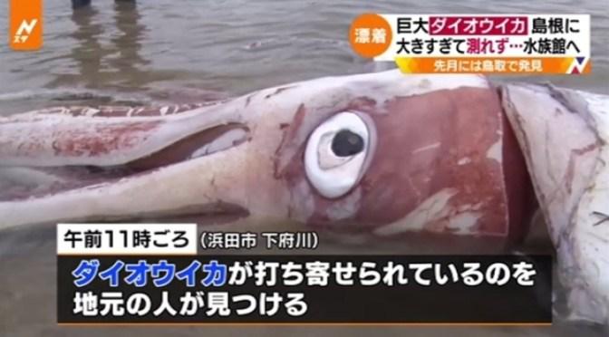 巨大ダイオウイカ 島根に漂着、大きすぎて測れず・・・水族館へ TBS NEWS