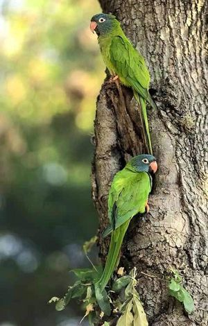 05 Blue-crowned Parakeets 200