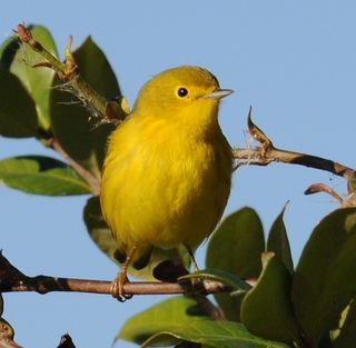 Yellow Warbler, Port Aransas Birding Center