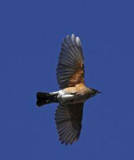 03 Robin