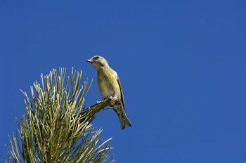 01 Type II Crossbill