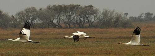 Whooping cranes, Aransas NWR, 28 Dec 2010 (500)