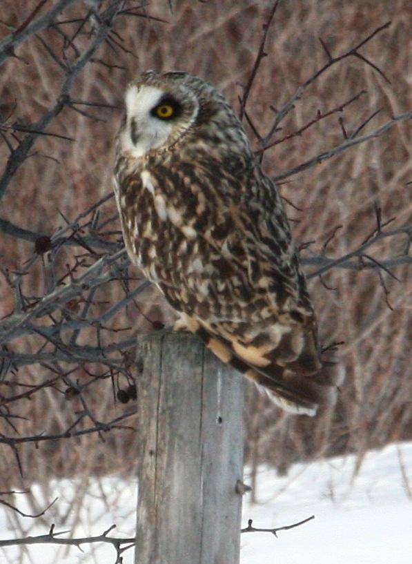 12.22 Short-eared Owl, ONb