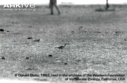 Eskimo-curlew-walking-in-field