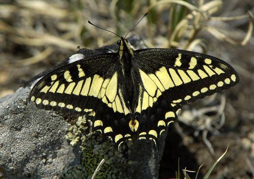 Anise(Nitra)Swallowtail7