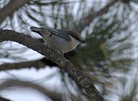 01 Pygmy Nuthatch
