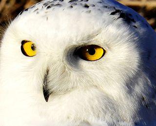 Snowy Owl face, Fremont, NE, 13 Jan 12 by Ted Lee Eubanks