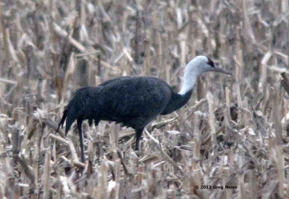 Hooded Crane Greg Neise