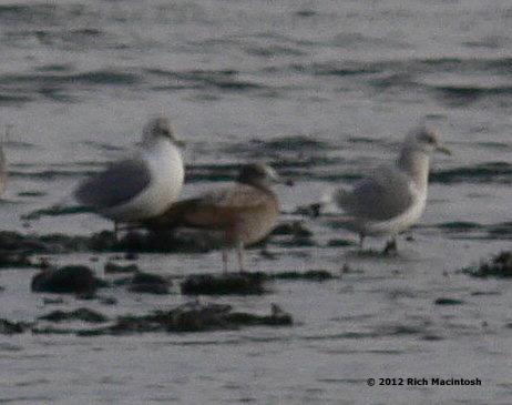 Black-tailed Gull +Kodiak+2-19-12 copy