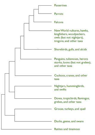 Cladogram for Hawks blog post