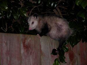 07 Opossum - David Crum