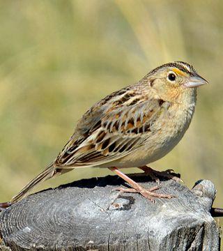 Grasshopper Sparrow, NE 20 May 2012 Crescent Lake NWR 023