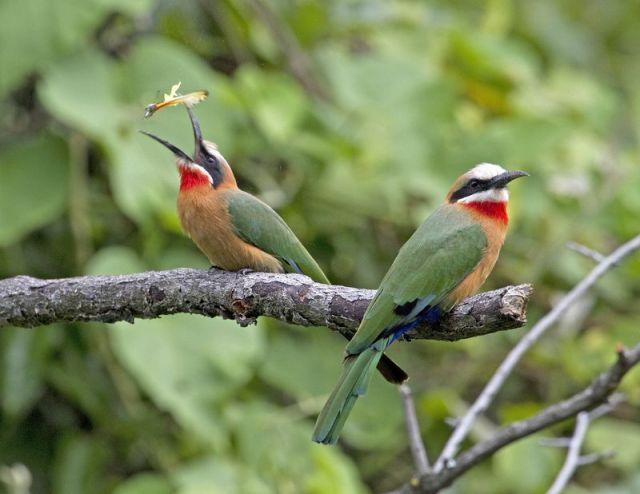 White-fronted bee-eater BINNS IMG_6601 copy