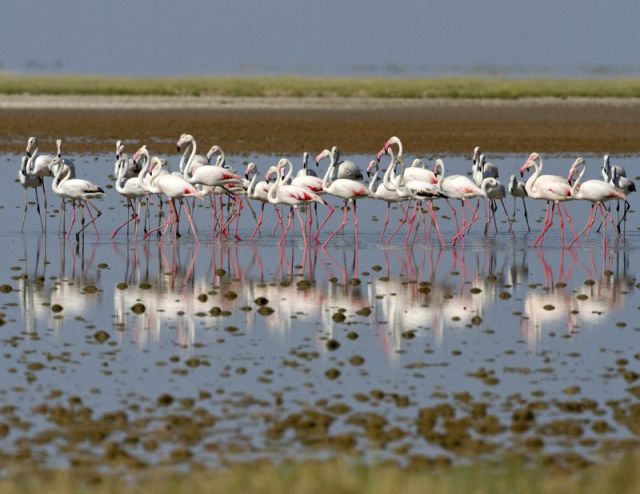 Greater flamingo BINNS IMG_1938 copy