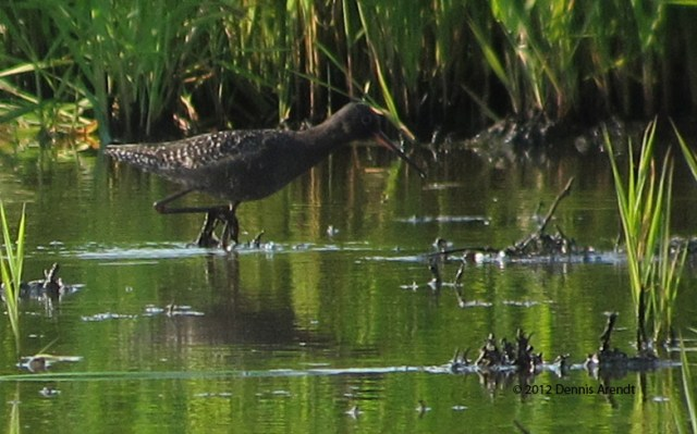 ABArare Spotted Redshank spre 16a