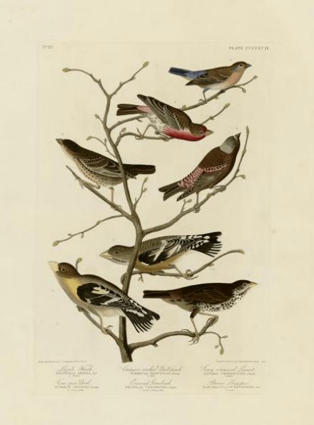 12-4-09-03 [Audubon print from University of Pittsburgh]