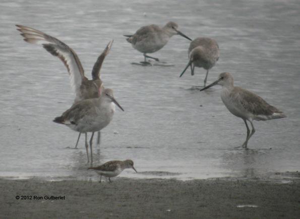 ABArare Black-tailed Godwit Virginia 2
