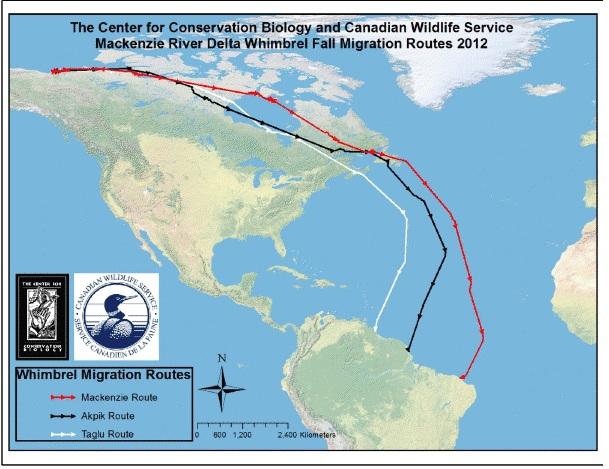 Whimbrel migrations