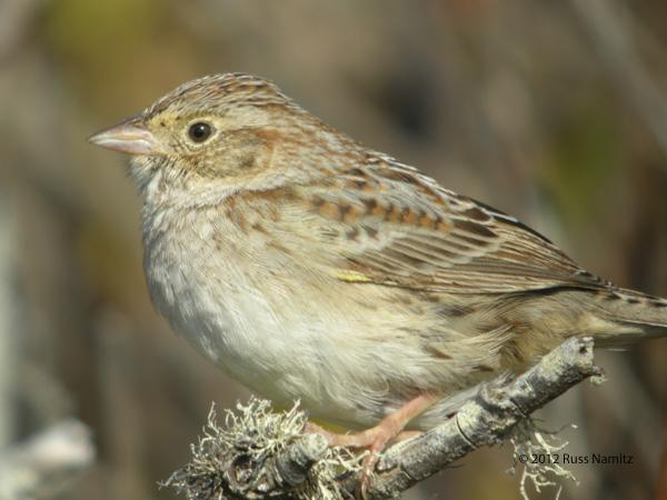 ABArare Cassins Sparrow
