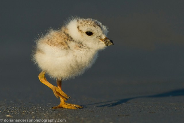 Piping_plover_chick_d_7-25-12