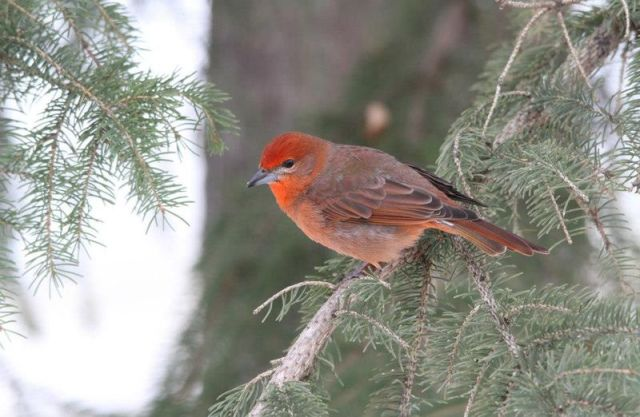 Hepatic Tanager, SK