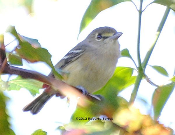 ABArare Thick-billed Vireo Toe