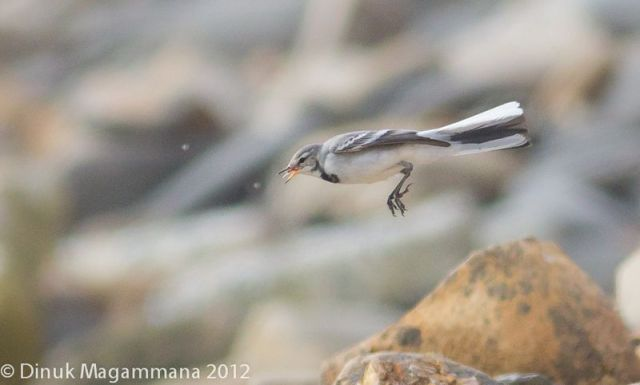 ABArare White Wagtail Dinuk