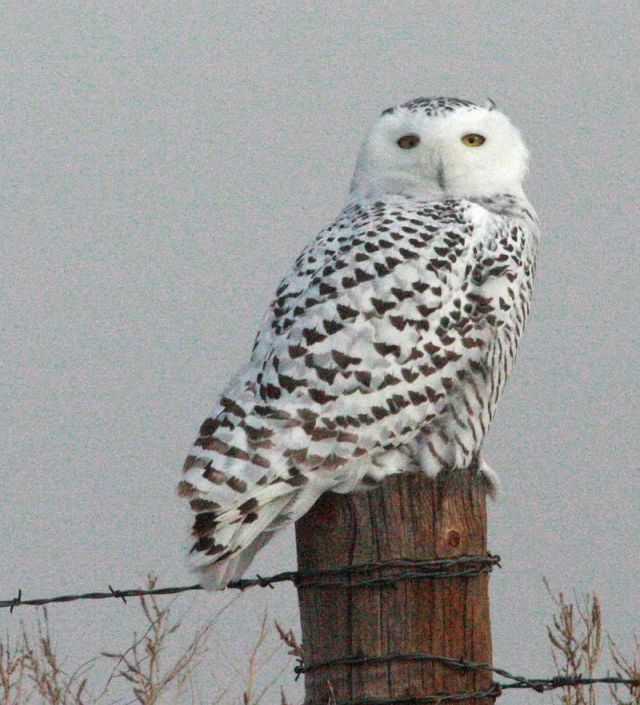 Snowyowl potter co