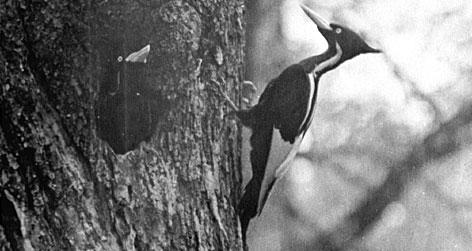 Woodpecker-medium