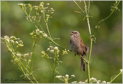 13-1-09-02 [Song Sparrow]