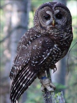 Spotted Owl - USFWS Pacific