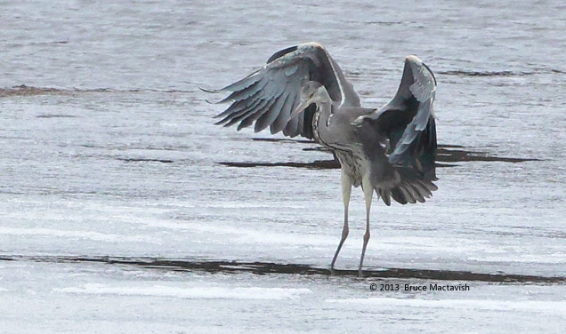 ABArare Gray Heron 10 March 2013 NF