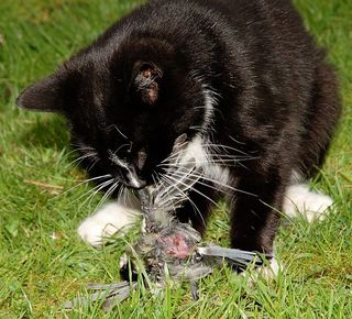660px-Domestic_cat_eating_bird_on_lawn-8