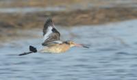 802 Black-tailed Godwit