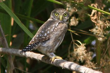 Peruvian Pygmy-Owl.