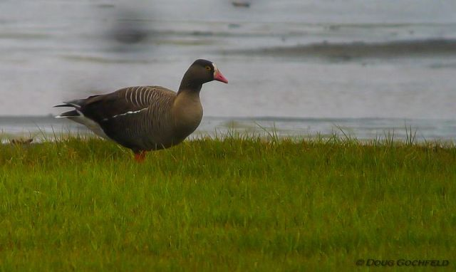 ABArare Lesser White-fronted Goose 01