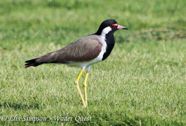 Red-wattled Lapwing, UAE