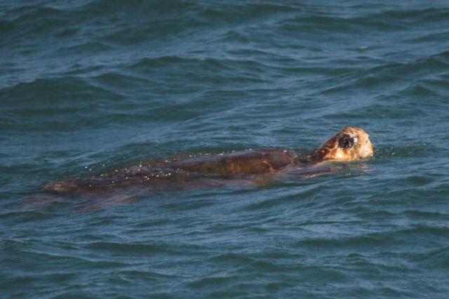 Loggerhead-Sea-Turtle-AJ