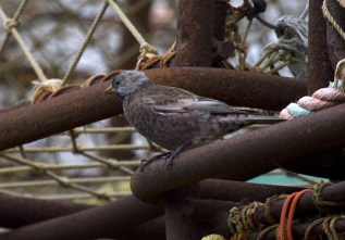 Gray-crowned Rosy-Finch, subspecies umbrina. Photo by Greg Neise.