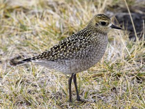 Pacific Golden Plover. Photo by Greg Neise.