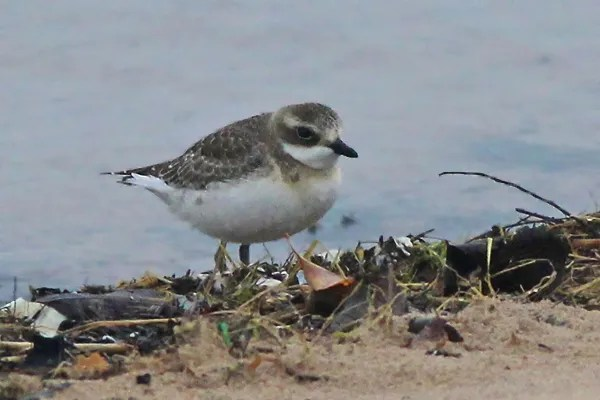 Lesser Sand-Plover at Michigan City, IN on 15 October 2013. Photo (c) Michael L. P. Retter.