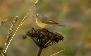 First ABA-area record of Common Redstart, one of Neil's 3 provisional species. Photo by Doug Gochfeld.