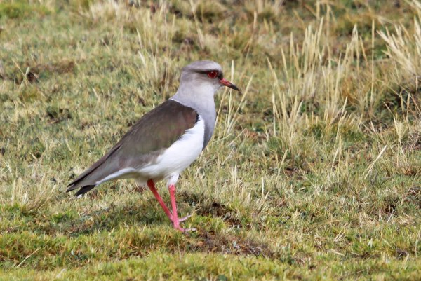 Andean Lapwing, photo by Elis Simpson