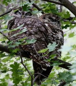 08.17 Spotted Owls, AZ