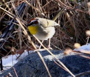 12.28 Rufous-capped Warbler, AZ