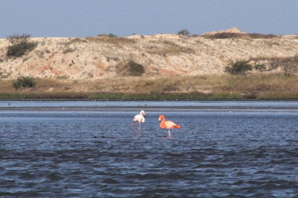 This American Flamingo in Texas, part of a pair consisting of an escapee and a wild bird, was number 739 for Neil's Big Year.